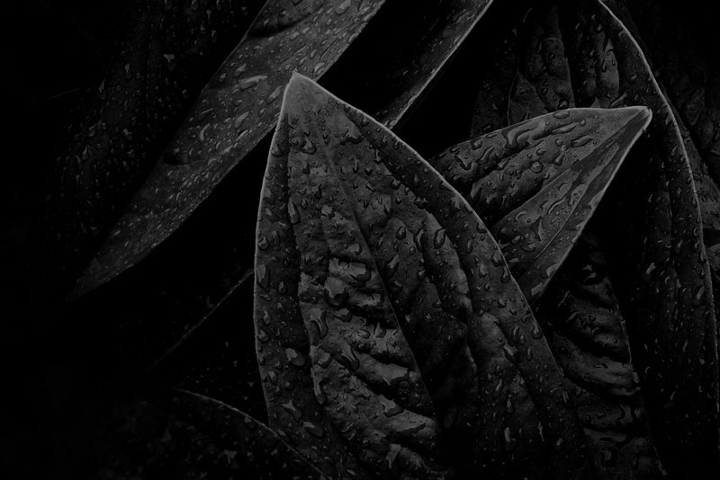 black leaves texture
